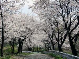金沢大学桜
