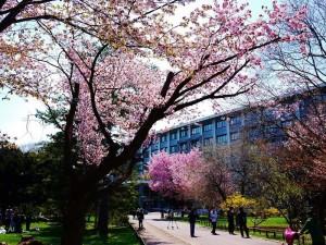 北大桜こちらに
