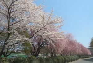 岩手大学桜