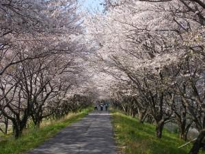 岐阜経済大学桜