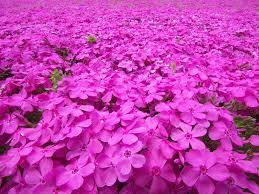 芝桜花びら