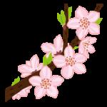 桜の開花宣言はなぜ気象庁なのか?開花の確認はいつ?どの木で確認?