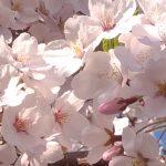 こっそり教えるヨ。東京の花見でお薦めの穴場!コレ・ですよ!!